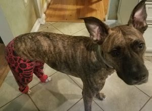 Brindle pit mix with giant ears wearing red and black boys pajama bottoms.